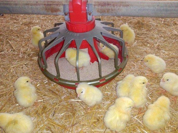 Comedero-pollos_W