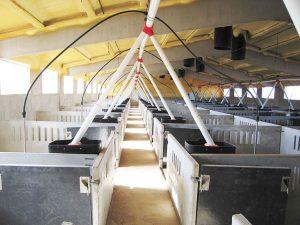 Transportador automático de pienso en cebadero de cerdos