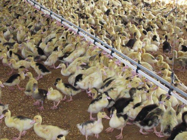 Granja avícola de patos sueltos bebiendo en las tetinas avícolas
