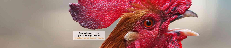 imagen de cabeza de gallina