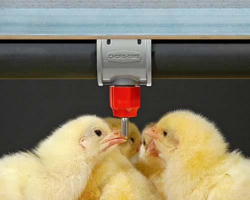 Sistema de bebedero STEADI-FLOW® utilizado por pollos.