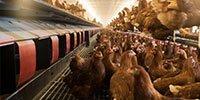Nave de gallinas con aviarios