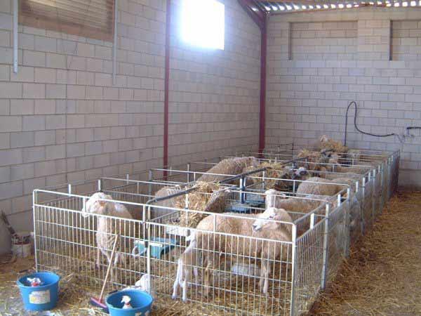 módulo maternidad de ovejas, para cuatro ovejas en parto, con bebedero, comedero y forrajeramódulos ampliables