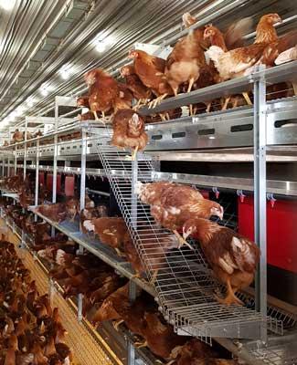 gallinas-aviario-web.jpg